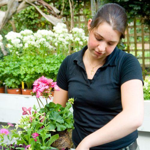 Bildunterschrift: Ausreichend Platz in frischer Erde lässt nicht nur Pelargonien gedeihen. (Bildnachweis: GMH)