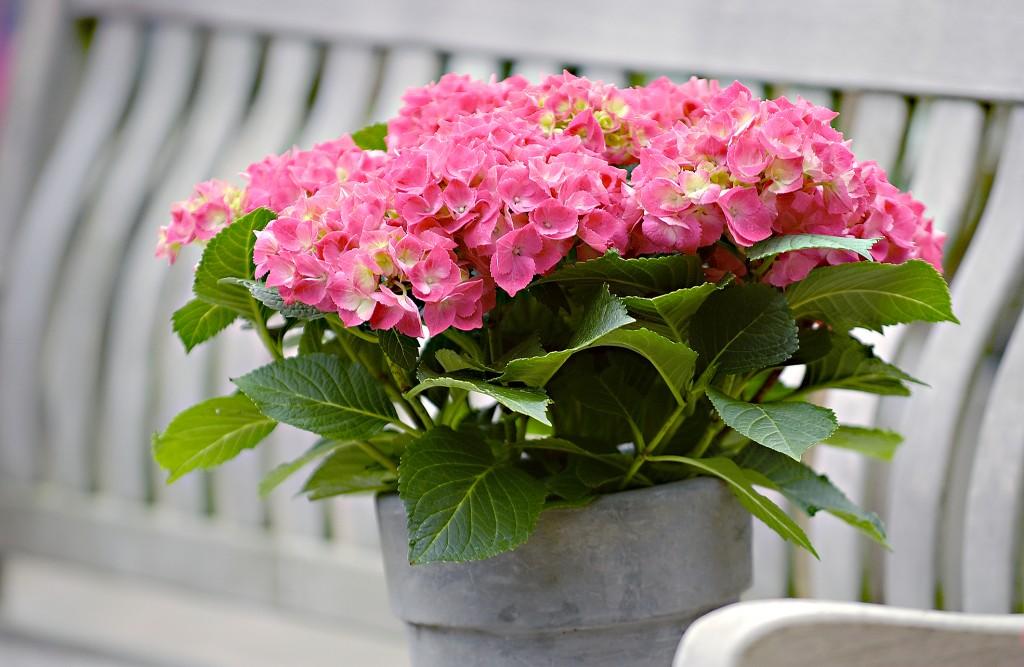 Bildunterschrift: Eine gelungene Überraschung: Üppig blühende Hortensien sind genau das richtige Geschenk zum Muttertag. (Bildnachweis: GMH)
