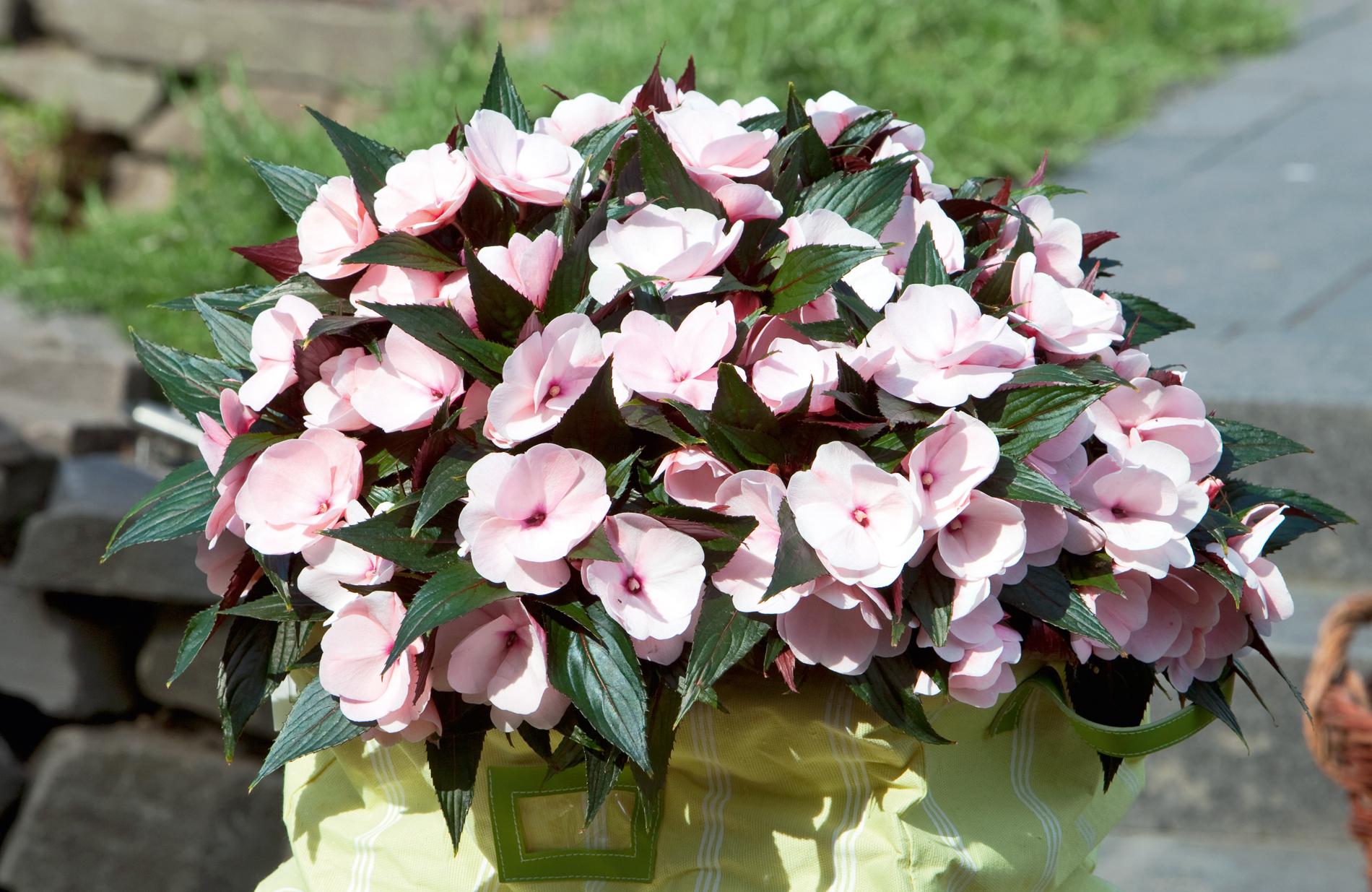 Zusatzbilder zum Artikel: Pünktlich zum Saisonstart locken die Pflanzenneuheiten 2011