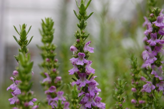 GMH_BDS_2011_13_08_Stauden und essbare Pflanzen für den Garten