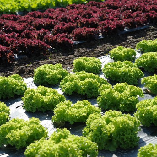 Salat - appetitlich von der Aussaat bis zur Ernte!