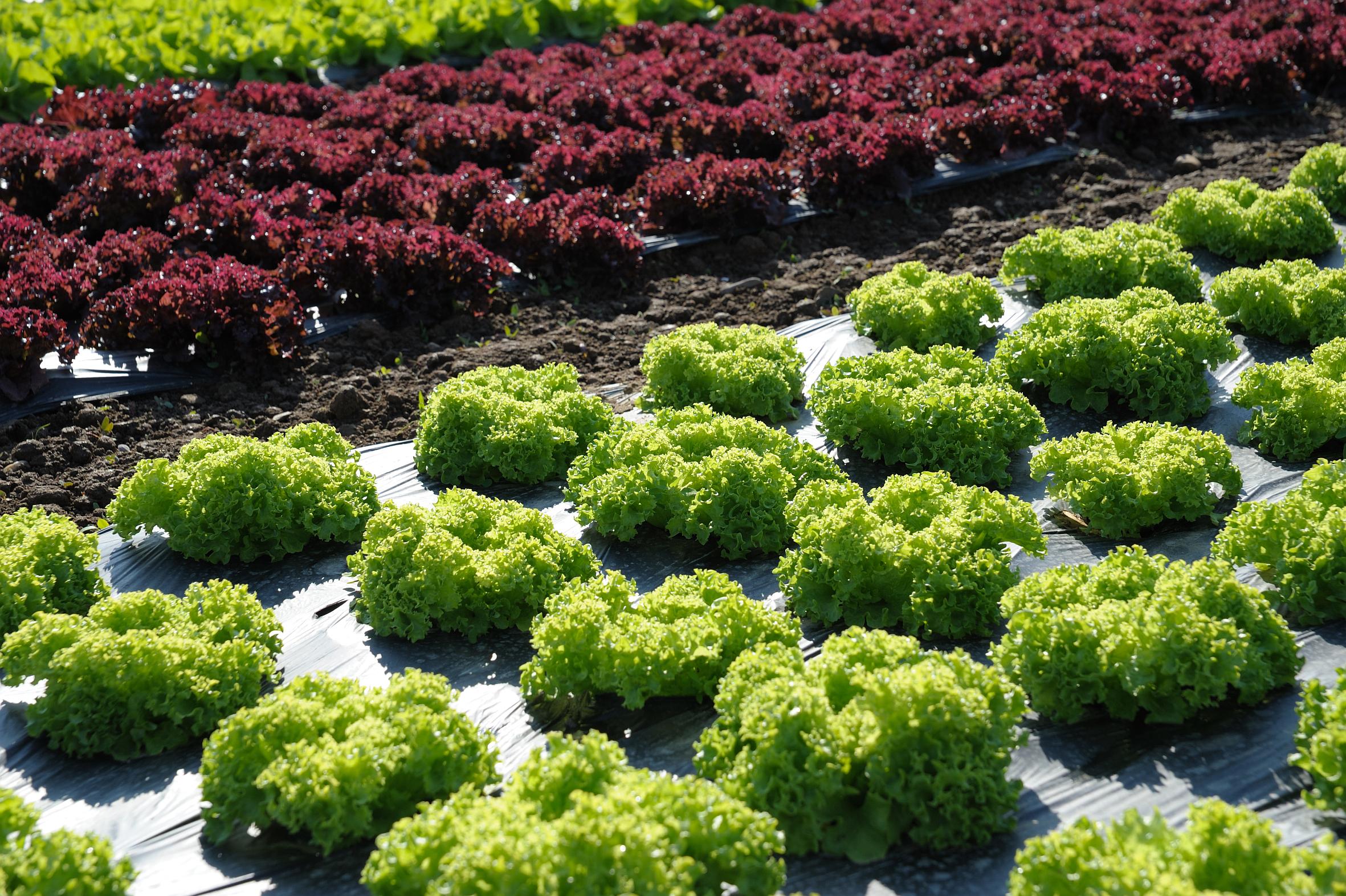 Salat – appetitlich von der Aussaat bis zur Ernte!