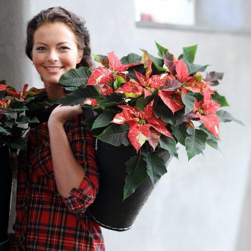 GMH_2011_43_02 Ein Stern in jedem Haushalt - Die Weihnachtstern-Saison ist eröffnet
