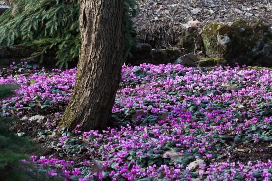 GMH_2012_04_07: Edelsteine im ausgehenden Winter - frühjahrsblühende Alpenveilchen