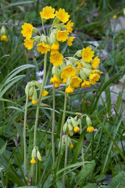 GMH_2012_09-03 Bunt, frech, fröhlich - Primeln für den Garten