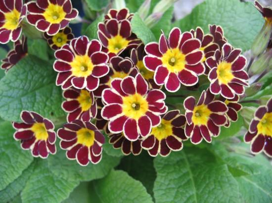 GMH_2012_09-06 Bunt, frech, fröhlich - Primeln für den Garten