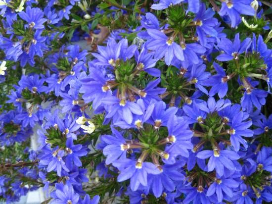 Die Entscheidung ist gefallen: Die Fächerblume 'Saphira' ist Sachsens Pflanze des Jahres 2012