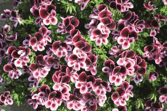 Dufte Sache: Pelargonie 'Dufte Biene' wird Brandenburgs Pflanze des Jahres 2012