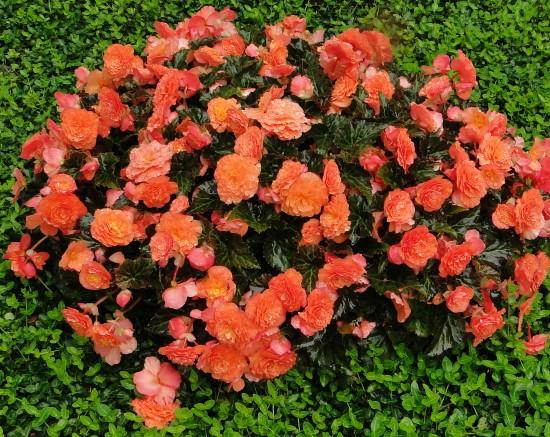 Blütenreichtum ohne Ende: 'Klunker-Heidi' wird Hessens Beet- und Balkonpflanze des Jahres 2012
