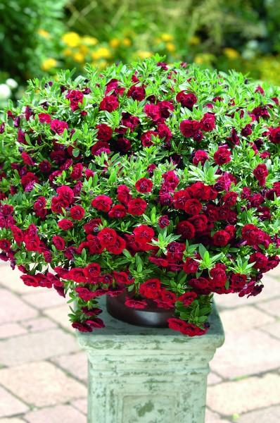 Der Sieger steht fest: Die Calibrachoa 'Rubinglöckchen' wird Balkonpflanze des Jahres 2012 in Rheinland-Pfalz