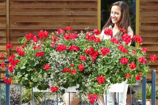 Geranien versprechen Blüten ohne Ende den ganzen Sommer hindurch
