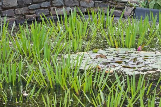 Schönes für den Gartenteich - schwimmende Wasserpflanzen