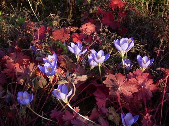 GMH_2012_33_01 Farbenrausch im Herbst – Herbstfärbung bei Stauden
