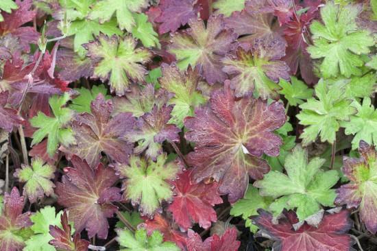 Farbenrausch im Herbst – Herbstfärbung bei Stauden