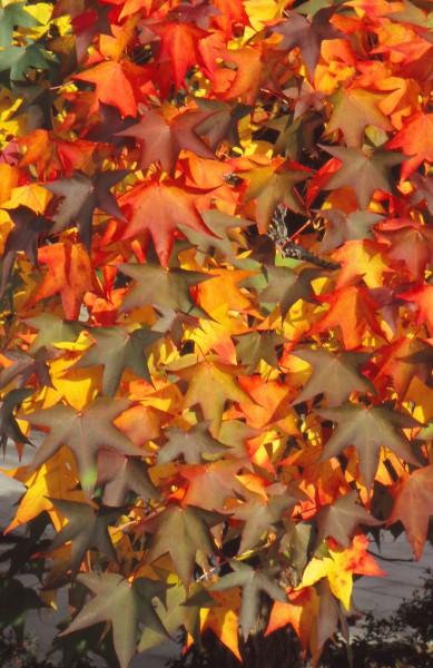 GMH_2012_36_02 Feuriges Finale - Bäume und Sträucher mit prachtvoller Herbstfärbung begeistern zum Saisonende