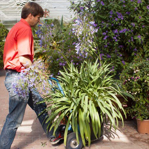 Optimaler Überwinterungsplatz verschafft Kübelpflanzen einen Vorsprung
