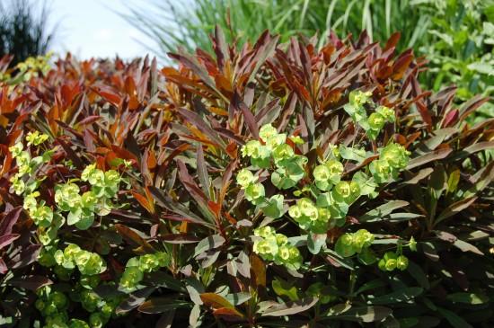 GMH_2012_37_09 Staude des Jahres 2013 - Die Wolfsmilch (Euphorbia) - Vielfalt für den Garten