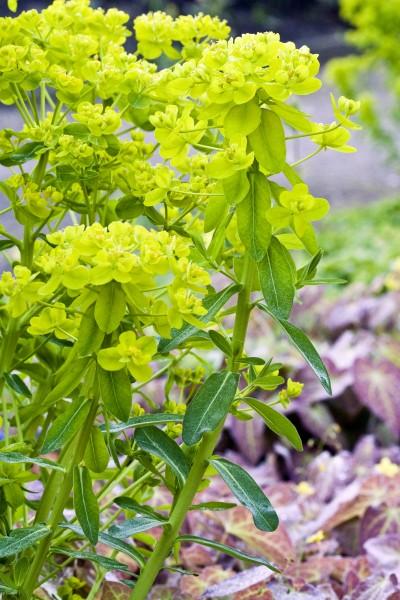 GMH_2012_37_10 Staude des Jahres 2013 - Die Wolfsmilch (Euphorbia) - Vielfalt für den Garten