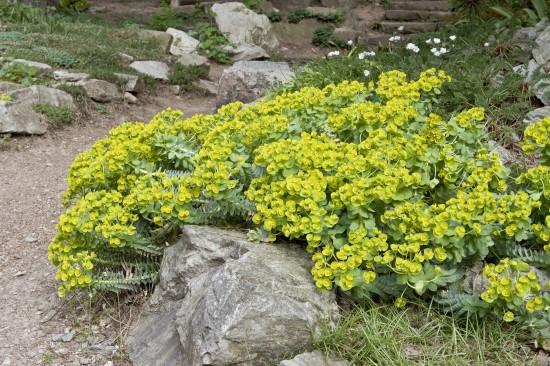 GMH_2012_37_11 Staude des Jahres 2013 - Die Wolfsmilch (Euphorbia) - Vielfalt für den Garten