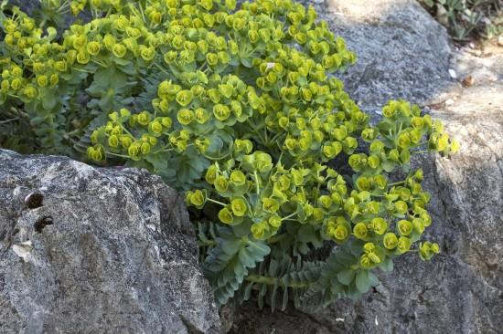 GMH_2012_37_12 Staude des Jahres 2013 - Die Wolfsmilch (Euphorbia) - Vielfalt für den Garten