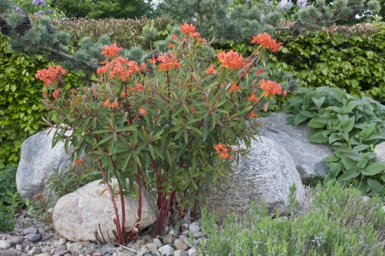 GMH_2012_37_13 Staude des Jahres 2013 - Die Wolfsmilch (Euphorbia) - Vielfalt für den Garten