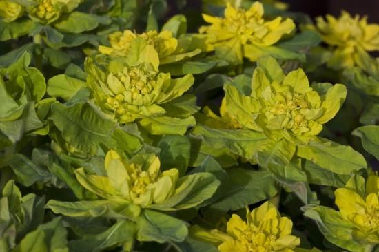 GMH_2012_37_14 Staude des Jahres 2013 - Die Wolfsmilch (Euphorbia) - Vielfalt für den Garten