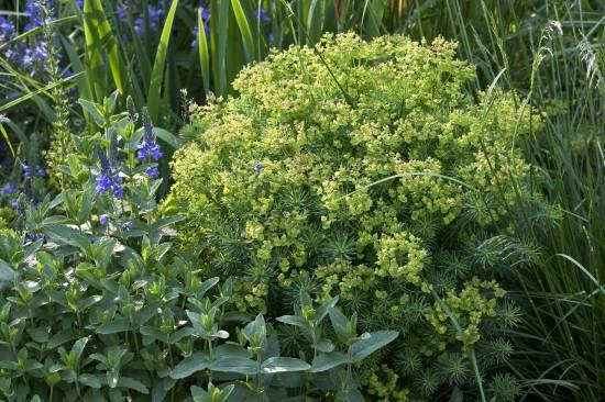 GMH_2012_37_18 Staude des Jahres 2013 - Die Wolfsmilch (Euphorbia) - Vielfalt für den Garten
