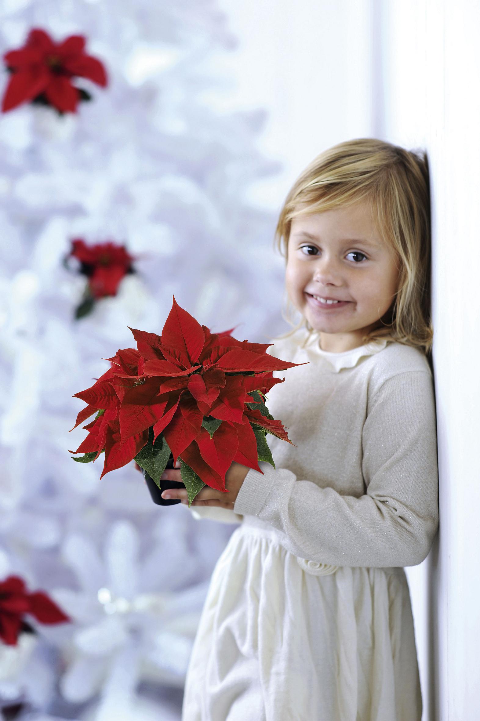 Winterlicher Blütenzauber in jedem Raum – Die Weihnachtsstern-Saison ist eröffnet