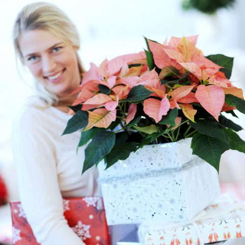 Blumige Grüße im Advent - Am 12. Dezember ist Poinsettia Day