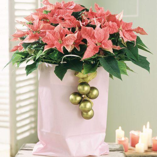 Alle Jahre wieder... Pflanzliche Deko aus der Weihnachtszeit nicht wegzudenken