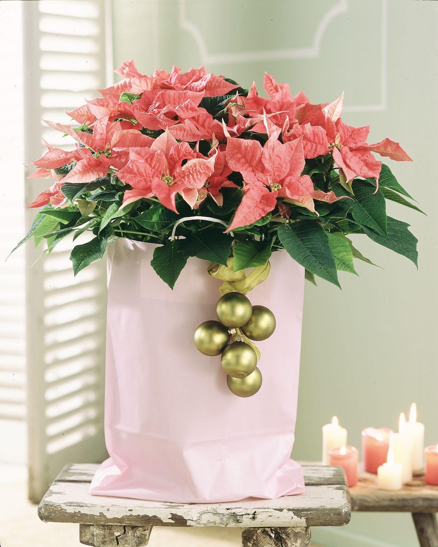 Alle Jahre wieder… Pflanzliche Deko aus der Weihnachtszeit nicht wegzudenken