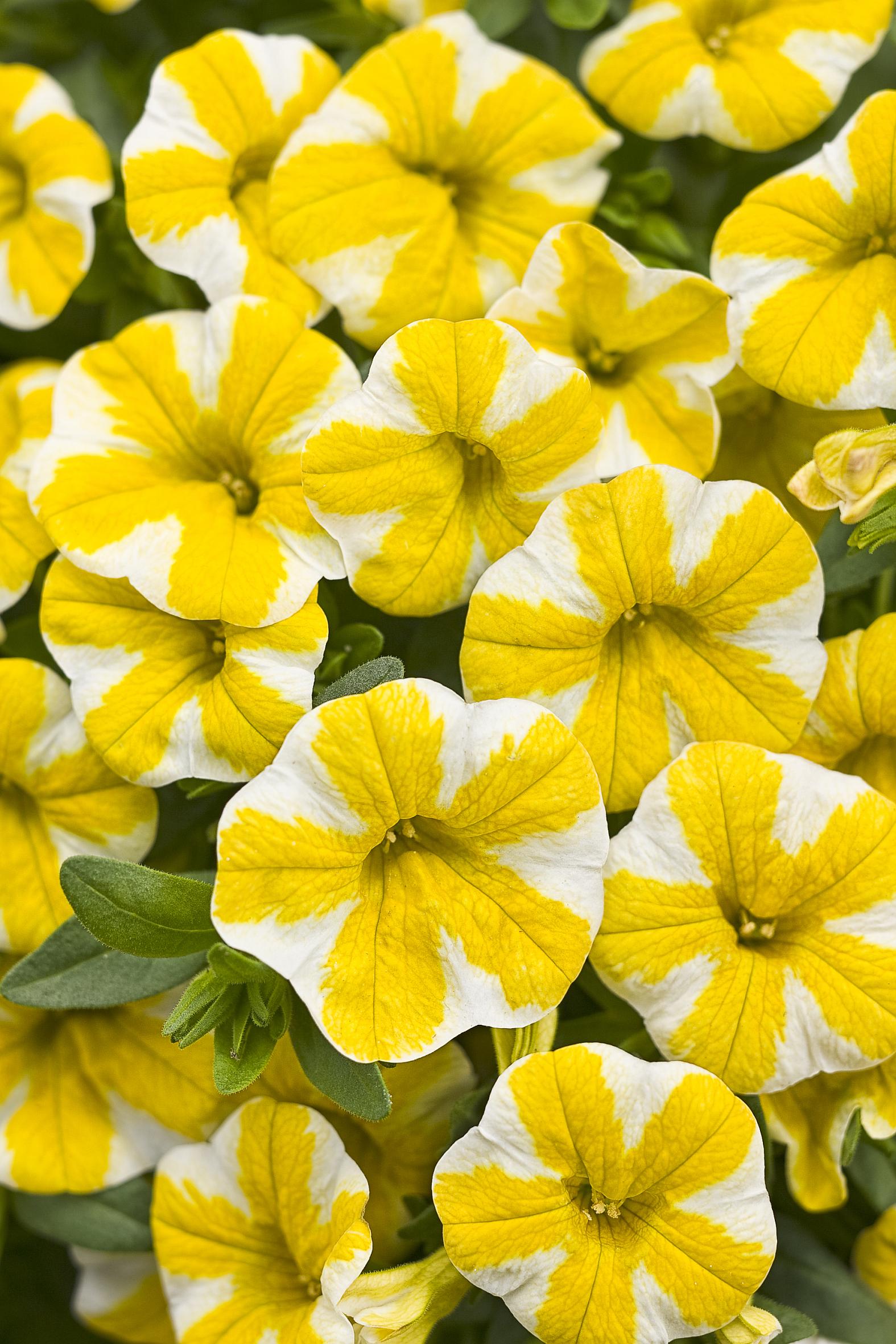 lass die sonne rein zaubergl ckchen bella limoncella wird bayerische pflanze des jahres 2013. Black Bedroom Furniture Sets. Home Design Ideas