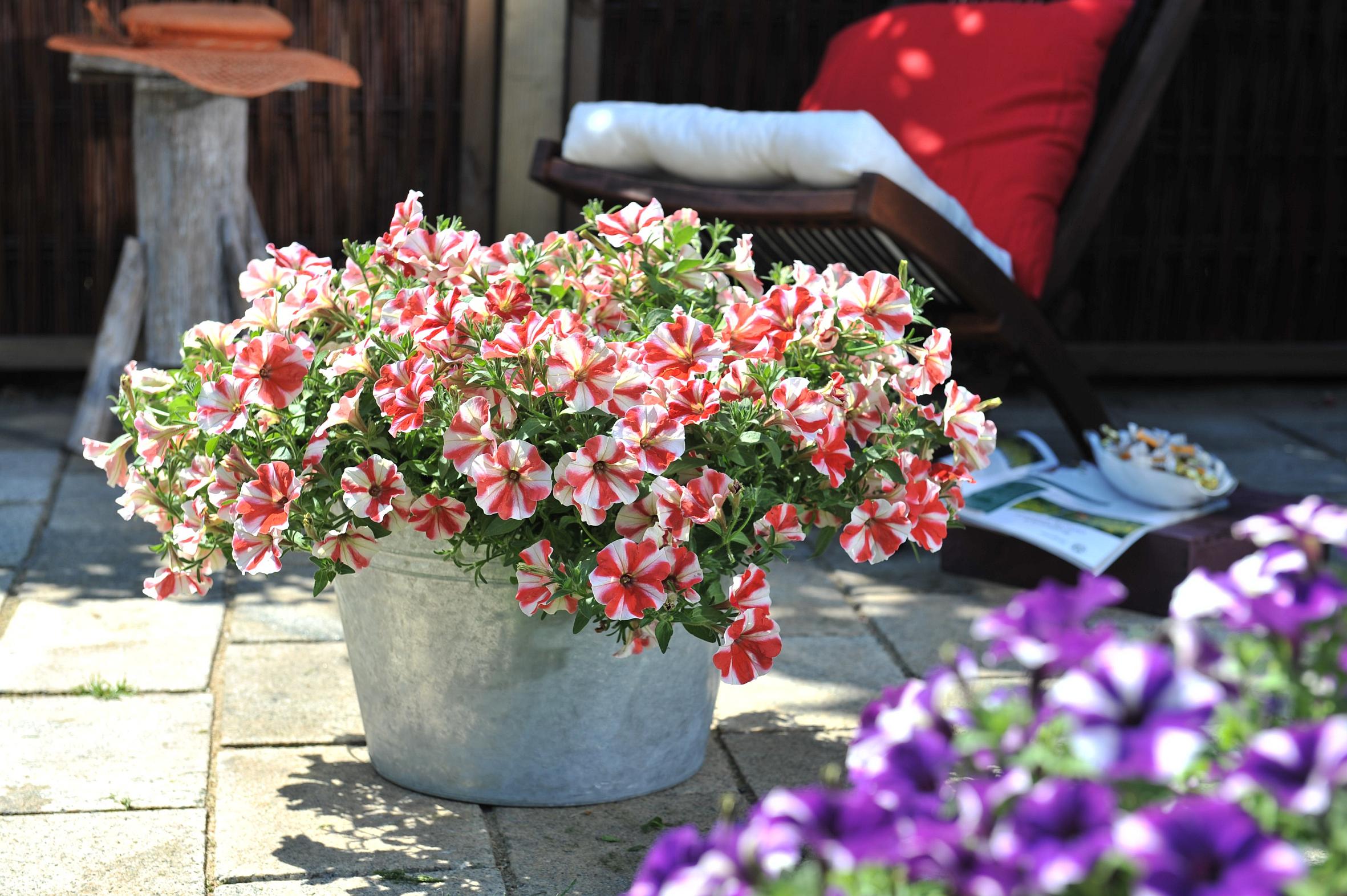 gute laune garantiert petunie feine fine wird pflanze des jahres 2013 in berlin und. Black Bedroom Furniture Sets. Home Design Ideas