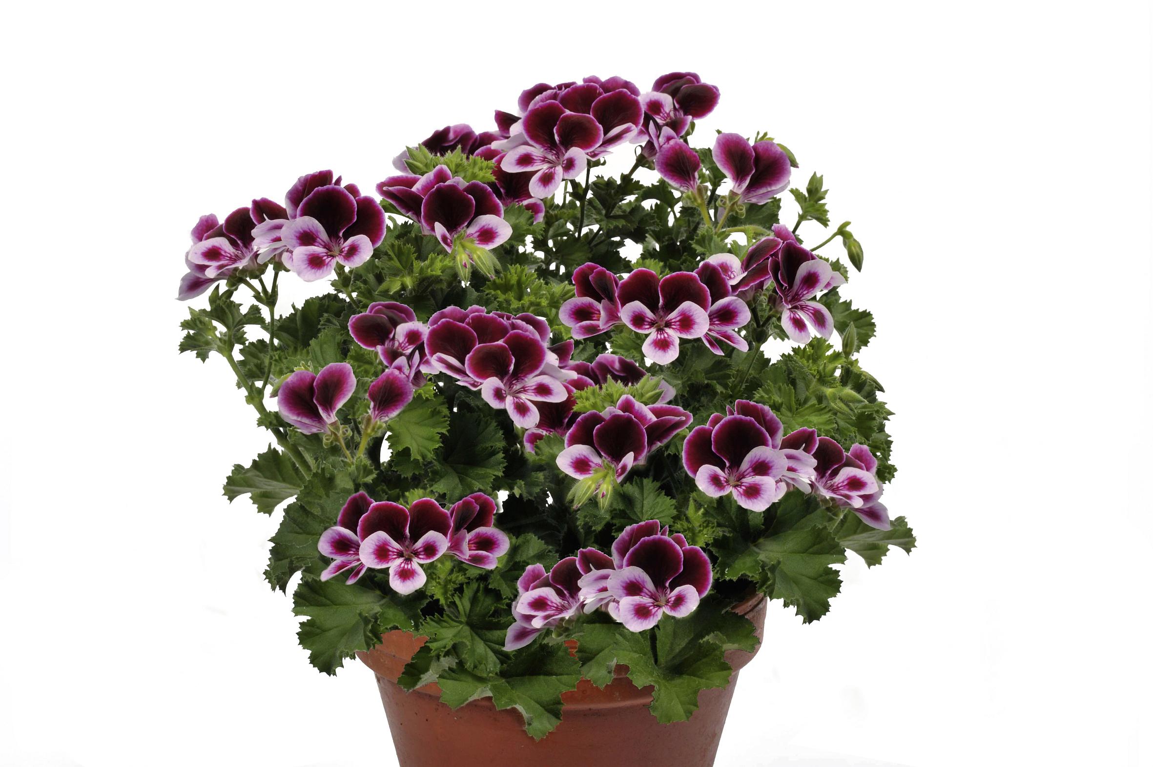 pflanze des jahres im norden gew hlt pelargonie lillibet erobert die herzen im sturm das. Black Bedroom Furniture Sets. Home Design Ideas