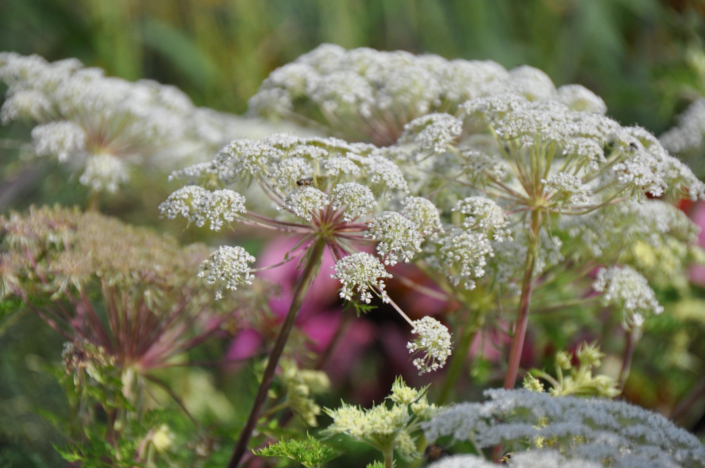 Dolle Dolden – Duft und Genuss für die Küche, Eleganz und Leichtigkeit für den Garten