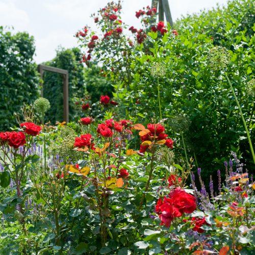 Blühende Stars: Rosen für Garten und Terrasse