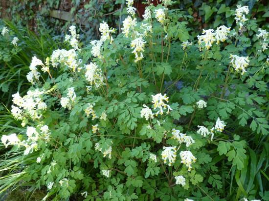 Ein dreifaches Hoch auf den (Lerchen-) Sporn!Dankbare Blüher in problematischen Lagen