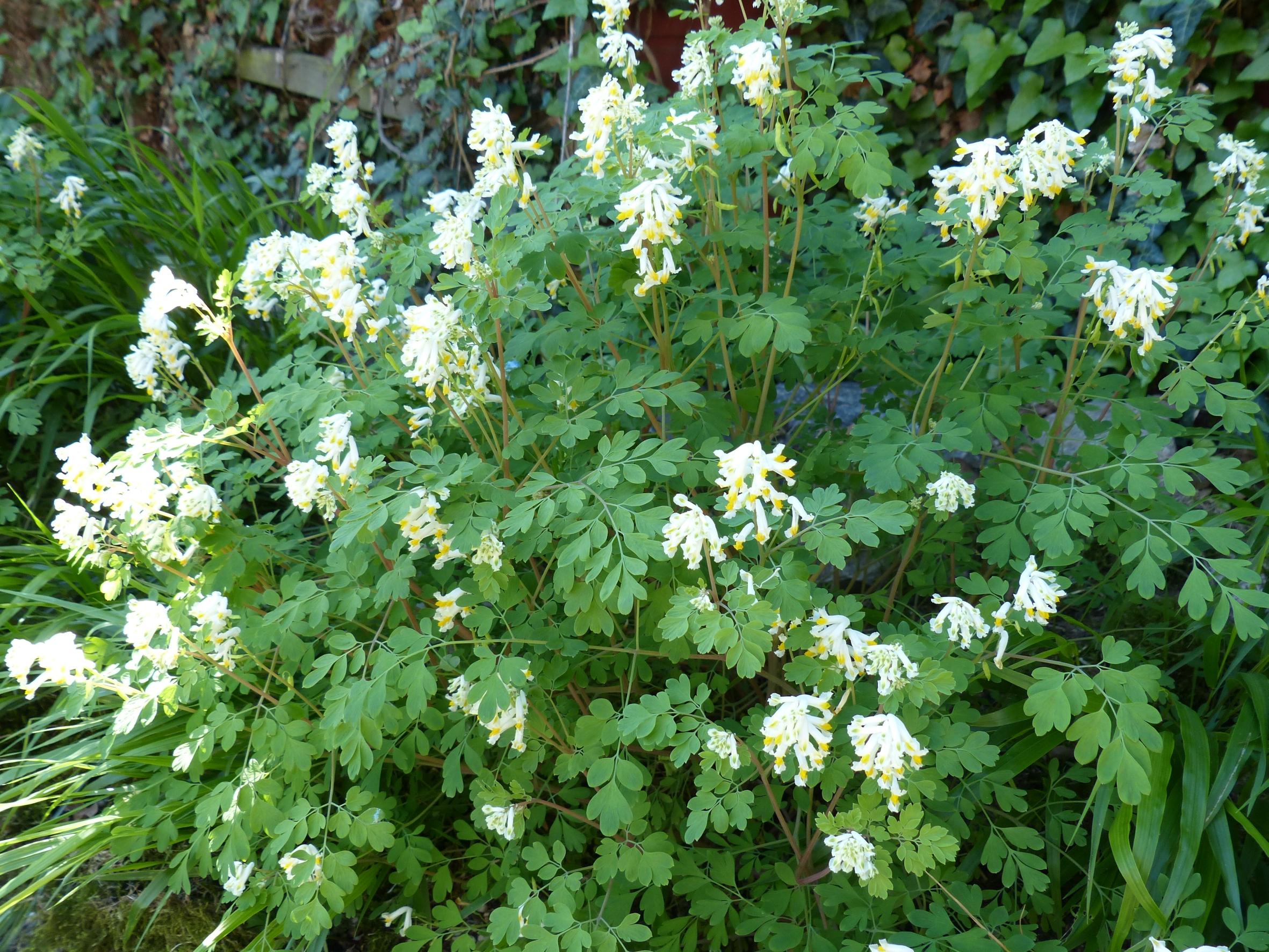 Ein dreifaches Hoch auf den (Lerchen-) Sporn! – Dankbare Blüher in problematischen Lagen