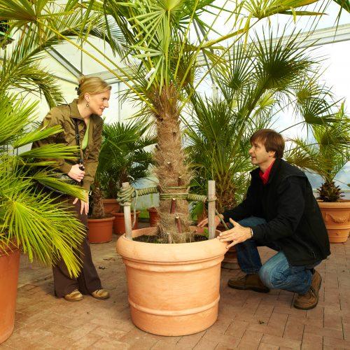 Ab in den Winterurlaub: Viele Endverkaufsgärtnereien bieten Winterquartiere für Kübelpflanzen an
