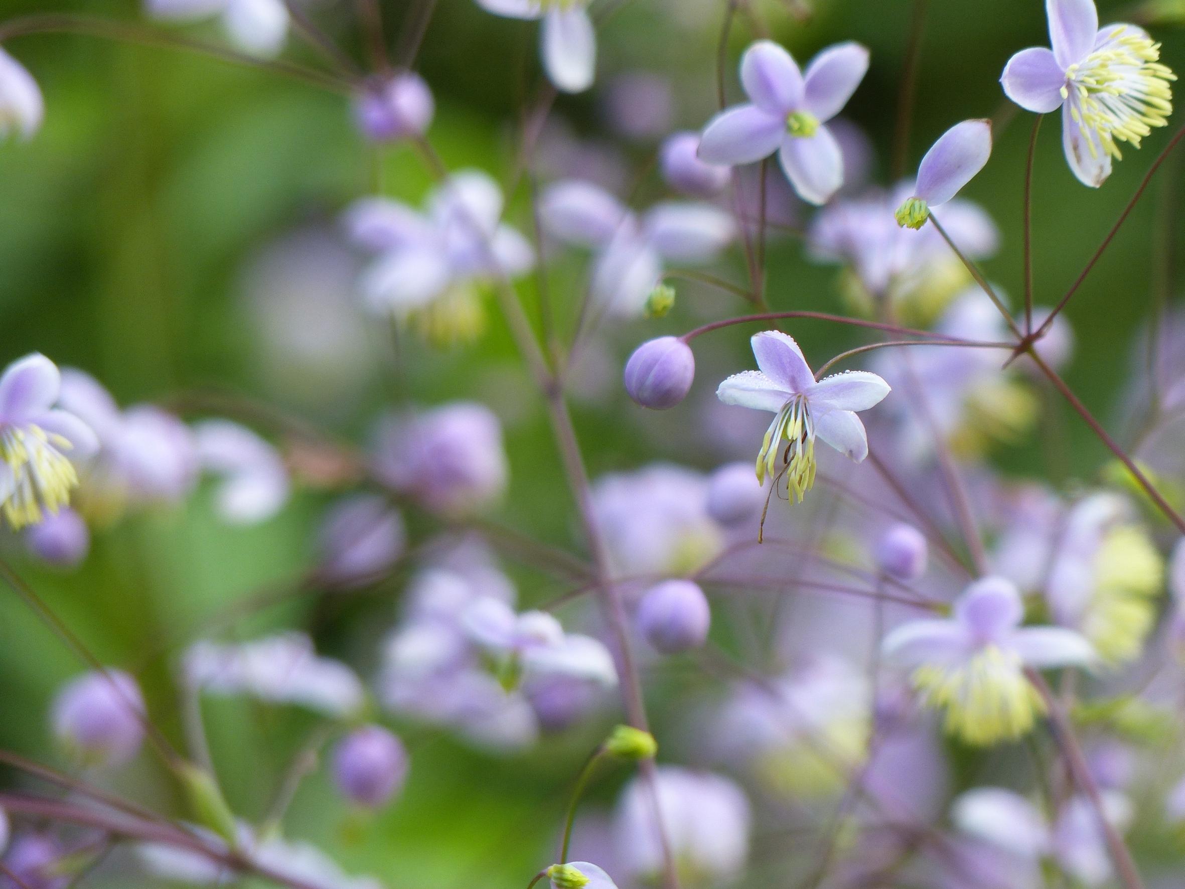 Schweben erleben: Wiesenrauten recken ihre Blütenwolken auf unterschiedlichen Höhen