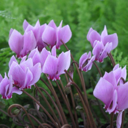 Omas LieblingspflanzeHingerissen von bunten Alpenveilchen unter Bäumen