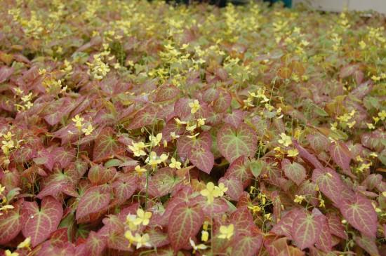 Staude des Jahres 2014: Elfenblumen –- elegante Schönheiten für den Schattengarten