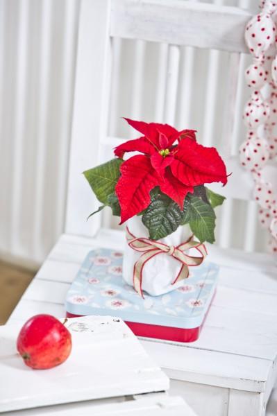 Poinsettia Day am 12.Dezember: Ein Tag zu Ehren des Weihnachtssterns