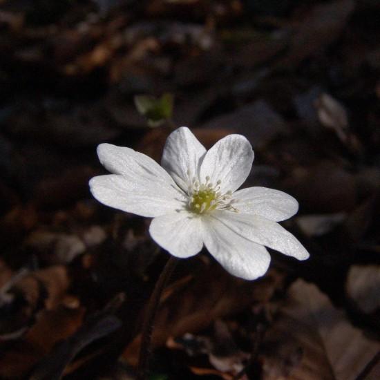 GMH_2014_07_01 Frühlingsbote mit Charme: Gegenwehr ist zwecklos, dem Liebreiz des Leberblümchens kann sich niemand entziehen.