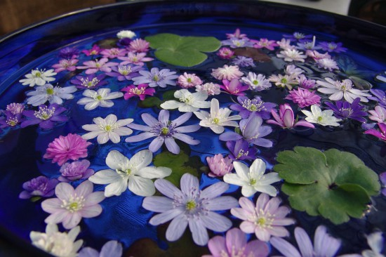 GMH_2014_07_02 Frühlingsbote mit Charme: Gegenwehr ist zwecklos, dem Liebreiz des Leberblümchens kann sich niemand entziehen.