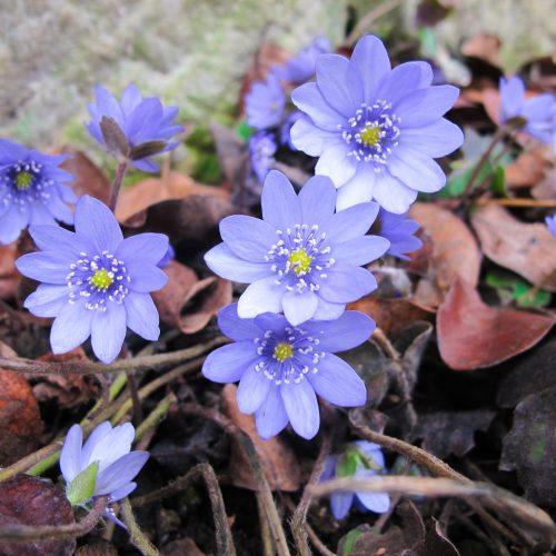 Frühlingsbote mit Charme: Gegenwehr ist zwecklos, dem Liebreiz des Leberblümchens kann sich niemand entziehen