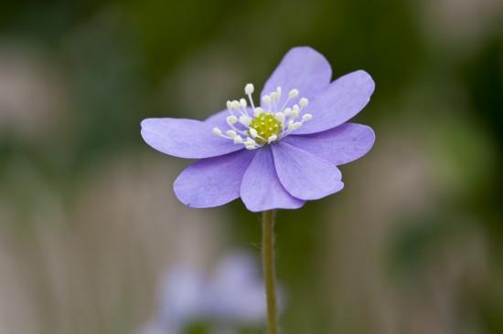 GMH_2014_07_04 Frühlingsbote mit Charme: Gegenwehr ist zwecklos, dem Liebreiz des Leberblümchens kann sich niemand entziehen.