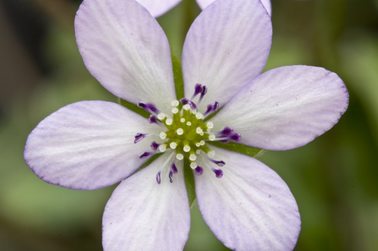 GMH_2014_07_05 Frühlingsbote mit Charme: Gegenwehr ist zwecklos, dem Liebreiz des Leberblümchens kann sich niemand entziehen.