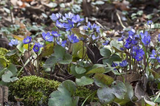GMH_2014_07_06 Frühlingsbote mit Charme: Gegenwehr ist zwecklos, dem Liebreiz des Leberblümchens kann sich niemand entziehen.