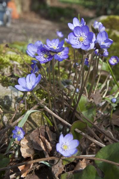 GMH_2014_07_07 Frühlingsbote mit Charme: Gegenwehr ist zwecklos, dem Liebreiz des Leberblümchens kann sich niemand entziehen.
